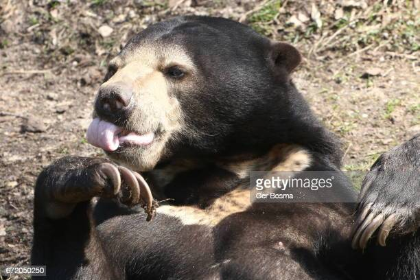 Malayan Sun Bear Feeling Peckish