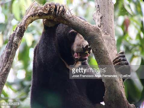 Malayan Sun Bear On Tree At Forest