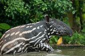 Malayan tapir in the water