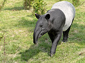 Malayan tapir (Tapirus indicus) walking on grass and viewed of front
