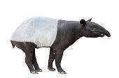 Malayan tapir or Asian tapir isolated on white background
