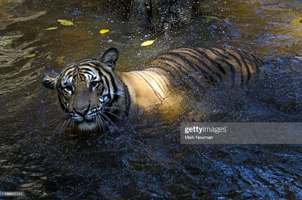 Malayan tiger in water