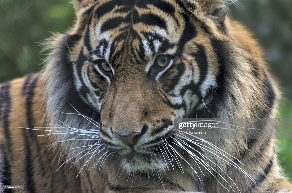 Malayan tiger : Stock Photo