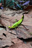 A huge green stick bug wonders the jungle floor looking for trouble