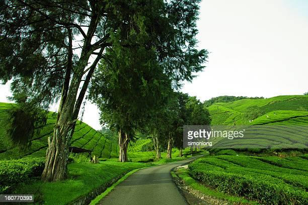 Malaysia , Cameron Highlands
