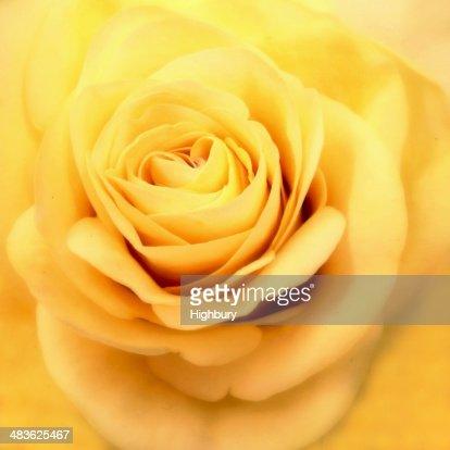 Malaysia, Close up of yellow rose