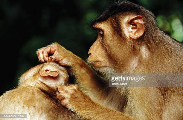 Malaysia, Sabah, pig-tailed macaque (Macaca sp.) grooming friend