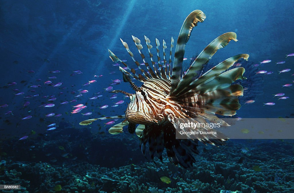 Malaysia, Sipadan, Red lionfish (Pterois volitans) with coral reef : Stock Photo