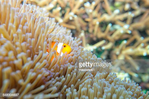 Malaysia, South China Sea, Clown anemonefish
