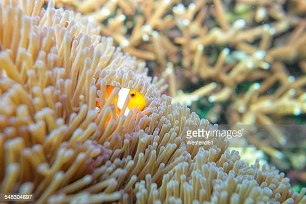 Malaysia, South China Sea, Clown anemonefish