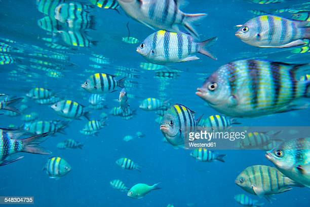 Malaysia, South China Sea, Perhentian island, group of tropical fish