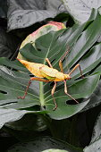 A large Malaysian stick bug wonders in the rain forest.
