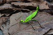 A large Malaysian stick insect walks in confidence in the jungle.