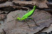 A Malaysian stick bug poses for the camera in the jungle