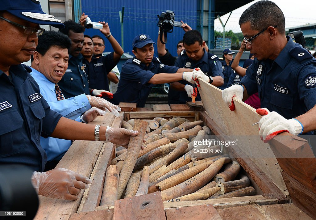 Malaysia's customs officers take out elephant tusks hidden among wooden floor tiles from two containers at the customs house in Malaysia's port town of Klang outside Kuala Lumpur on December 11, 2012. Customs seized the two containers on December 7 and December 10, 2012 and found they were filled with wooden crates which had secret compartments filled with elephant tusks. They estimate that the containers held about 1,500 tusks weighing about 24,000 kgs, valued at a millions of USD. AFP PHOTO / Saeed Khan