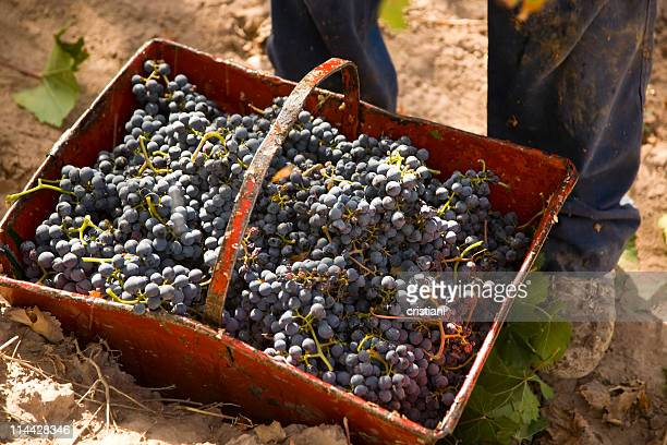 Malbec grapes harvest