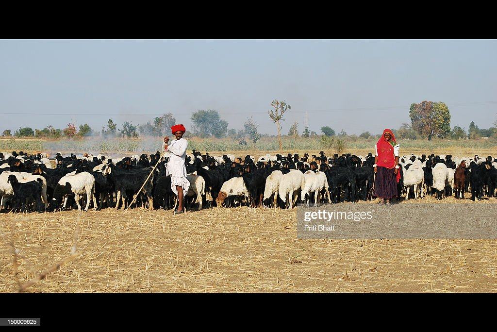 Maldhari couple grazing cattle : Stock Photo