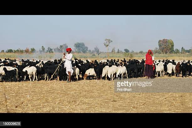 Maldhari couple grazing cattle