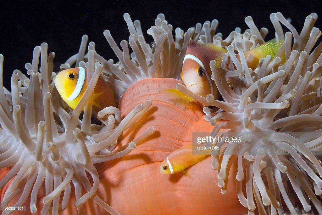 Maldives Anemonefish Amphiprion nigripes South Male Atoll Maldives