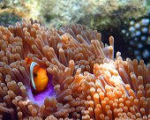 Maldives-Anemonefish
