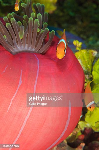 Maldivian Endemic Anemonefish (Amphiprion nigripes) in Giant Indo Pacific Sea Anemone, Maamendhoo Pass, Maamendhoo Island, North Huvadhoo Atoll, Southern Maldives, Indian Ocean : Stock Photo