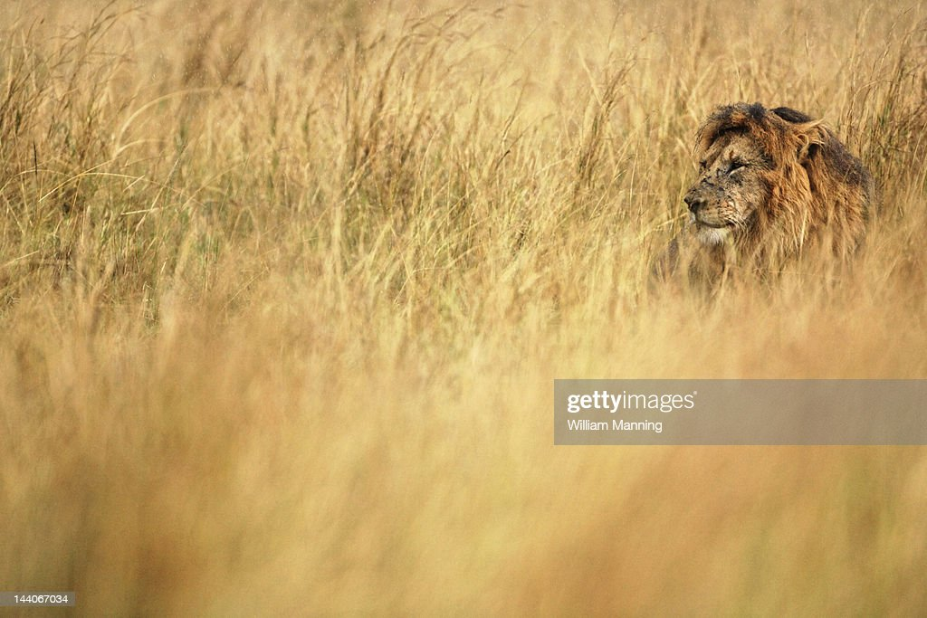 Male adult lion resting : Stock Photo