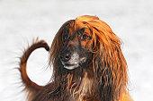 male Afghan Hound dog portrait sighthound breed domestic dog