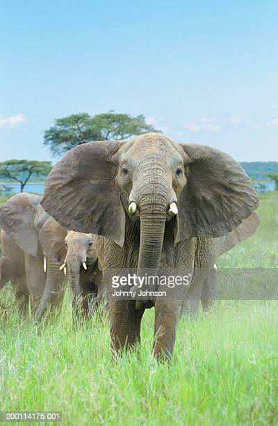 Male African elephant (Loxodonta africana) protecting young