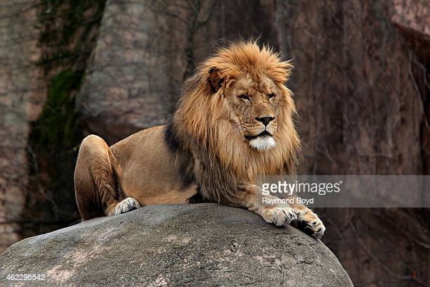 Male African Lion at Lincoln Park Zoo in Chicago on January 19 2015 in Chicago Illinois