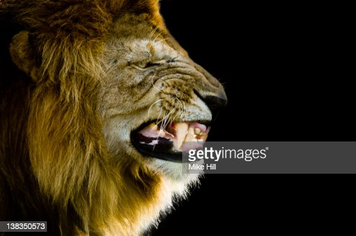 Male African Lion growling against Black backgroun : Stock Photo
