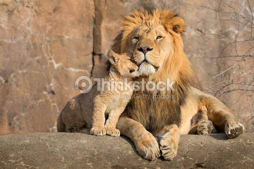 Male African lion is cuddled by his cub during an affectionate moment : Stock Photo