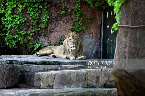Male African Lion reacts to spectators at Lincoln Park Zoo in Chicago Illinois on MAY 29 2013