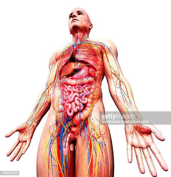 Anatomy Of Male Genital Area