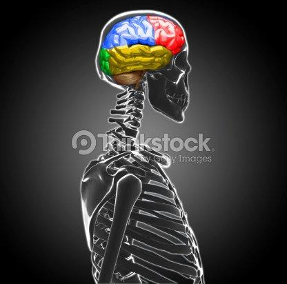Männliche Anatomie Der Menschlichen Gehirn Stock-Foto | Thinkstock