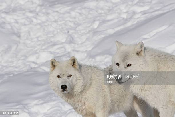 Male and Female Arctic Wolves in Winter