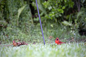Male and Female Cardinals Eating