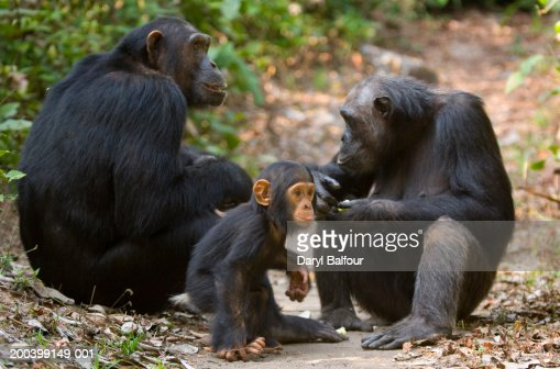 Male and female chimpanzees (Pan troglodytes) with young : Stock Photo