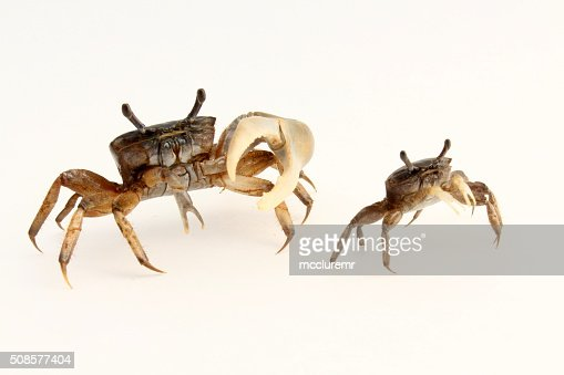 Male and female fiddler crabs turned aside : Stock Photo