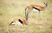 Male and female Impala