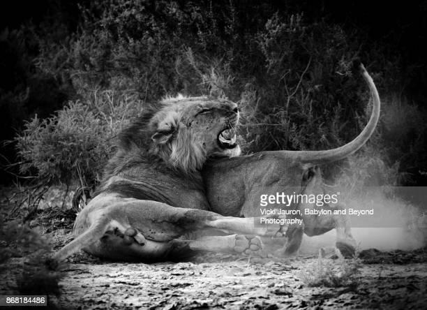 Male and Female Lion in Mating Scene in Samburu, Kenya