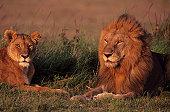 Male and female lions (Panthera leo) lying on grass savannah, Kenya