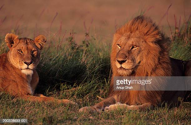 Male and female lions (Panthera leo) lying on grass savannah, Kenya