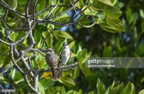 Male and female loggerhead kingbirds (Tyrannus caudifasciatus caudifasciatus) in Cayo Santa Maria, Cuba)