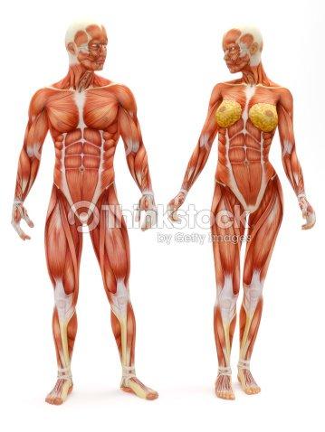 Männliche Und Weibliche Muskelskelettsystems Stock-Foto   Thinkstock
