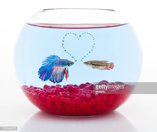 male and female siamese fighting fish in love