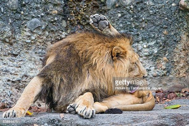 Male Asiatic lion licking his genitals