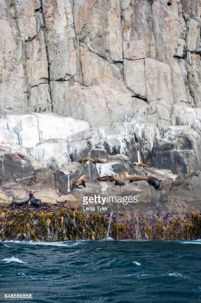 PENINSULA TASMANIA AUSTRALIA Male Australian Fur Seals at Tasman Island as seen on Pennicott Wilderness Journey's cruise of the Tasman Peninsula in...