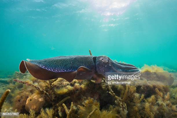 Male Australian giant cuttlefish swimming over kelp on a sunny afternoon, Whyalla, South Australia.