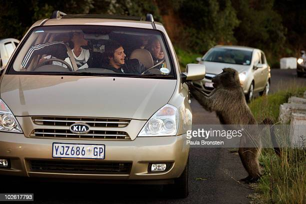 A male baboon jumps up on a car as tourists react after they fed him an orange the male decided he wanted more July 3 2010 in Capetown South Africa...
