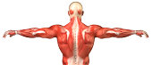 Back Muscle system Posterior view